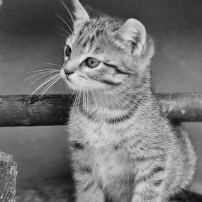 small cat by Dragutin Vrbanec - Black & White Animals ( looking, cat, little )