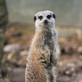 Meerkat by Michael Topley - Animals Other ( england, zoo, meerkat, standing, animal )