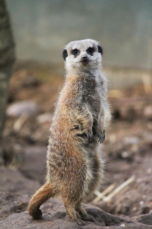 Meerkat by Michael Topley - Animals Other ( england, zoo, meerkat, standing, animal )