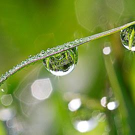 dew by Halim Qomarudin - Nature Up Close Natural Waterdrops ( water, macro, reflextion, water drops, nature, green, dew )