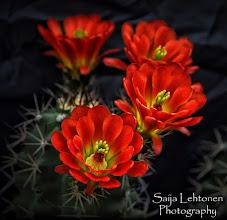 "Photo: ""Orange Hedgehog Cactus""  © Saija Lehtonen Photography  #Floral #Macro #Nature #Flowers"