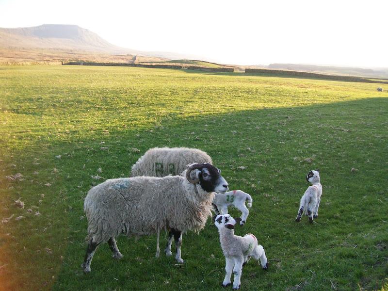 Photo: Ingleborough and Sheep.