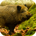 Wild Boar Sounds icon
