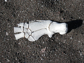 Photo: Sea Turtle foot bone
