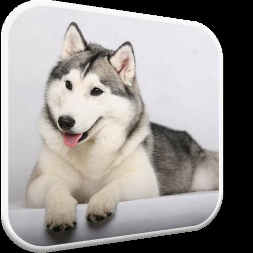 Husky licks glass Video LWP