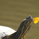 Slider Turtle and butterfly