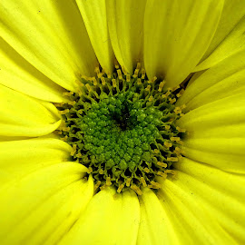 Chrysanthemum  by Asif Bora - Flowers Flowers in the Wild