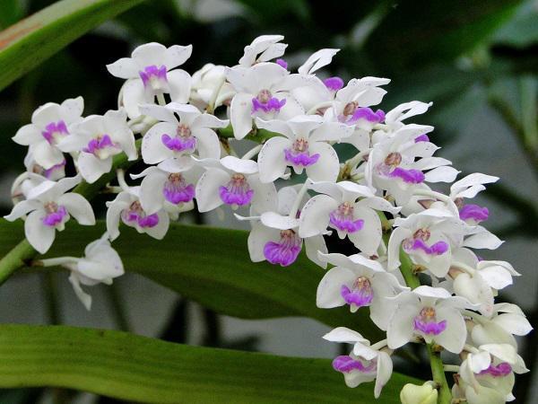 """Không nên dùng phong lan, vì có nhiều màu rực rỡ, chữ """"phong"""" gần nghĩa với chữ phong tình, phóng túng."""
