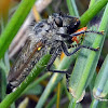 Robber Fly ID?