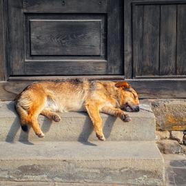 stray dog sleeping on stairs by Roberto Sorin - Animals - Dogs Portraits ( st. georges, cristobal, stairs, lie, welfare, building, dogs, animals, nap, day, pet, roadside, stray, natural, afternoon nap, bitumen, grenada, steps, feral, sleeper, adopt, animal, dog, street photography, stone steps, lazy, sleeping, stray dog, sleep, dog pound, street, paving stones, mongrel dog, pavement, rest, san, brown fur, resting, black, homeless, asphalt, help, mexico, haggard, urban, street dog, travel, sluggard, wall, wild,  )