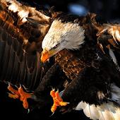 wallpaper hawk