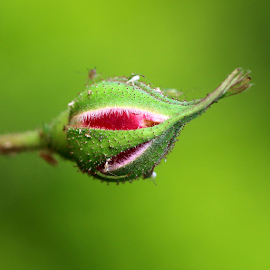 Rose bud by Vivek Sharma - Flowers Flower Buds ( vivekclix, nature, flower bud, rosebud, rose, flower,  )