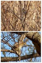 Photo: 撮影者:久保山嘉男 鳥名:アリスイ タイトル:アリスイ 観察年月日:2014年1月5日 羽数:1羽 場所:浅川・暁橋下流100m 区分:希少 メッシュ:八王子 コメント:足元の草薮から飛び出し、小さい木に止まった後、また元の草薮に戻って来てから大きい木に移動。2年前に若狭さんもが同じ場所で確認されています。