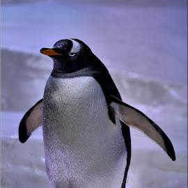 penguins by Nic Scott - Animals Other ( penguin )