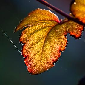 Orange leaves.. by Edit Peterffy - Nature Up Close Leaves & Grasses ( orange, autumn, leaves, light,  )