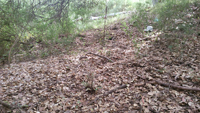 Photo: Interface between native oaks and the eucalyptus/broom.