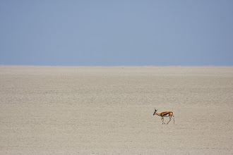 Photo: A lone impala walking across the Etosha salt pan.