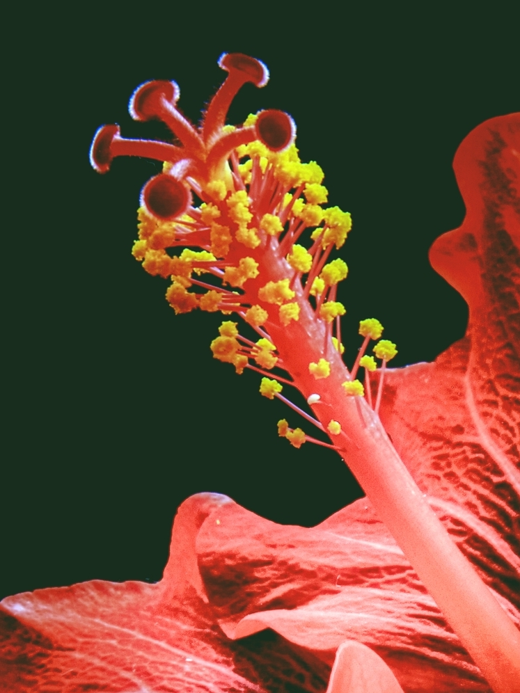 Particolare di fiore rosso di marvig51