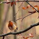 Orange Breasted Grey Warbler, European Robin