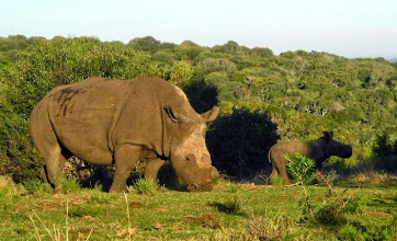 Photo: White rhinoceros