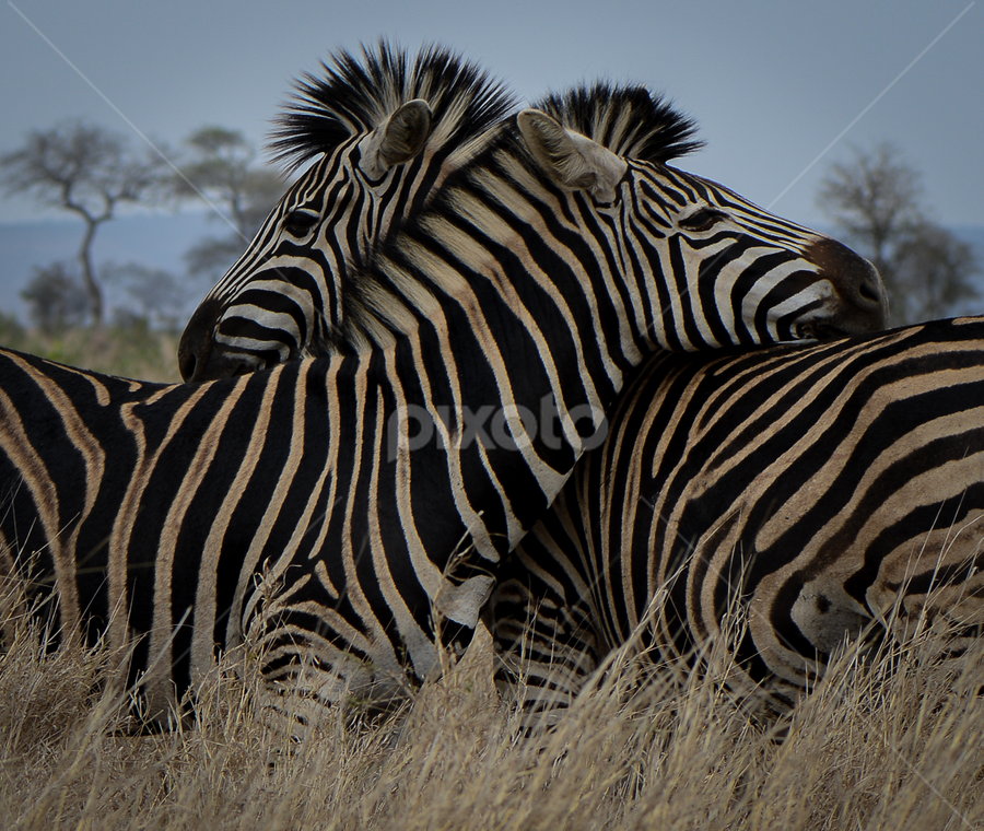 A striped friend by Tina Pettersson - Animals Other Mammals ( dazzle, aouth africa, savanna, meadowland, interaction, zebra, stripes, camouflage )