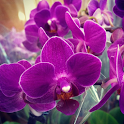 Orchid Flowers HD Wallpaper icon