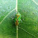 Uralabida Shield Bug