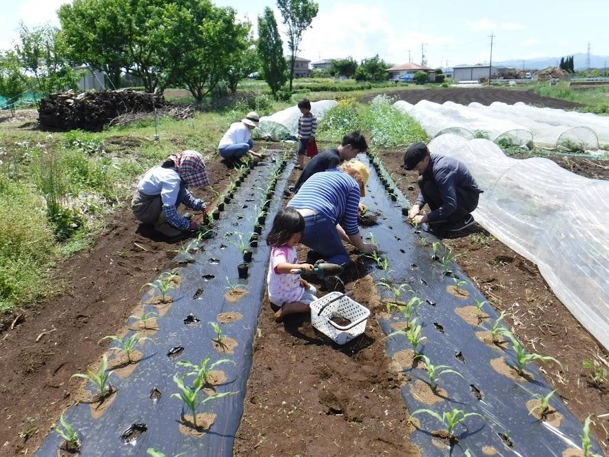 トウモロコシの苗80本もあっという間に定植完了。キジに食べられてしまった大豆も播きなおしてもらいました。