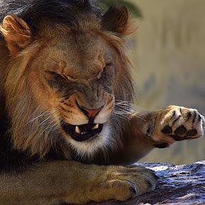 Lion - Ken Swat retake2.jpg