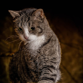 Lilli by Timo Herzog - Animals - Cats Portraits ( cats, kitten, cat, portraits, animal )