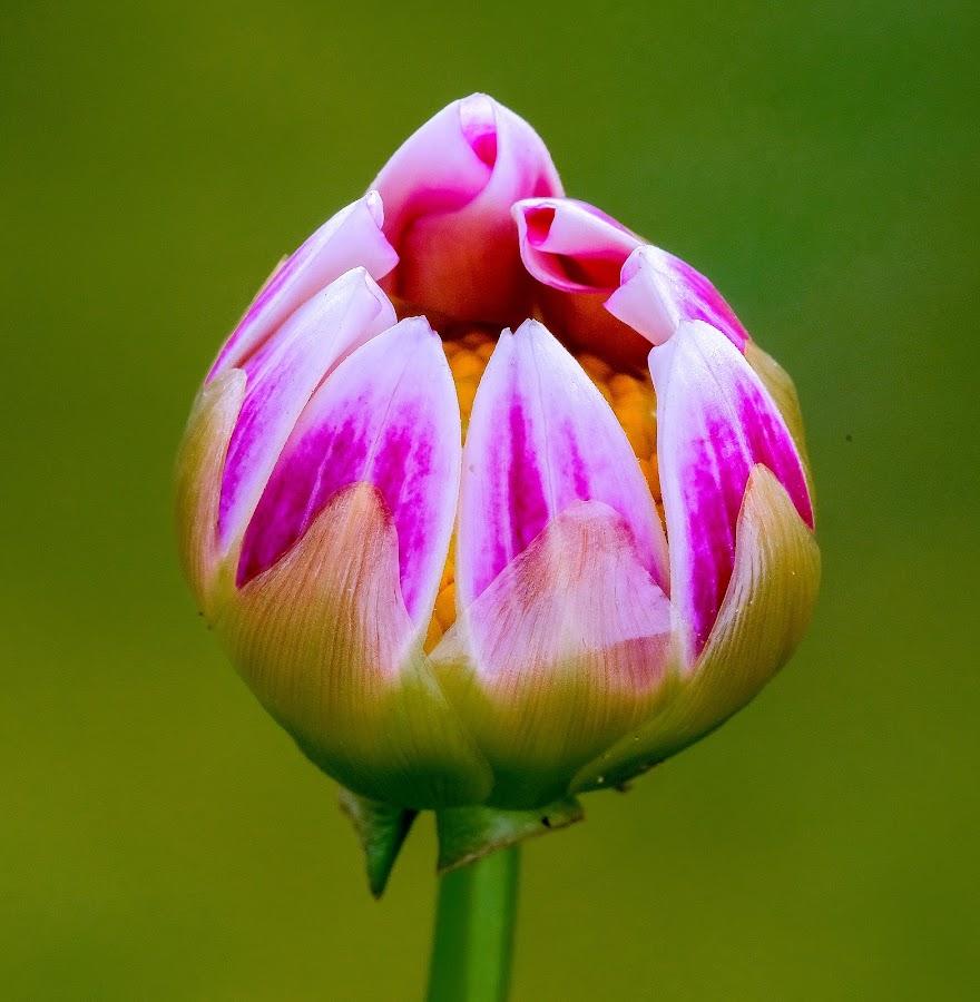 Wjite and puple Buding flower by Jim Downey - Flowers Single Flower ( red, bud, green, white, purple )