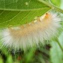 Virginian Tiger Moth (larva)