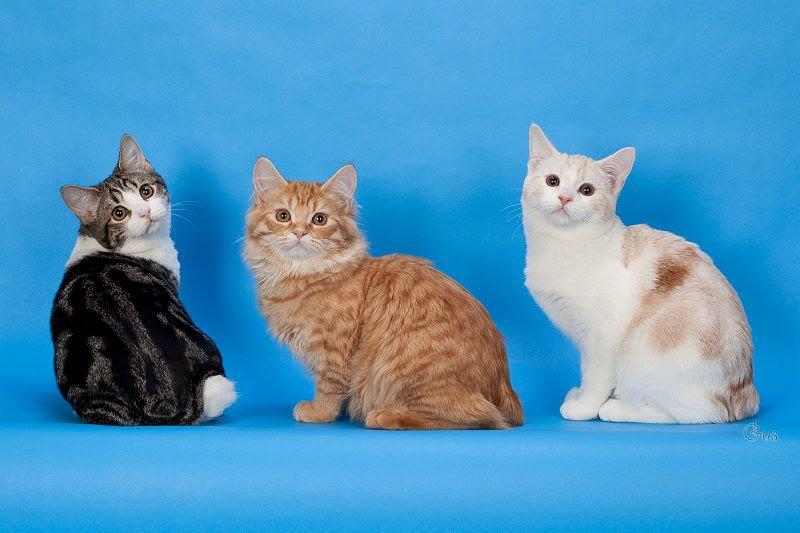 Manx cat price range. Manx kittens cost. Manx kittens for sale