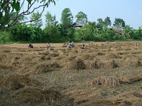 Photo: Just outside the lodge, migrant workers harvesting the rice ...