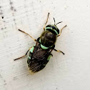 Teal soldier fly
