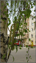 Photo: Mesteacăn (Betula) - de pe Str. Macilor - 2017.04.04