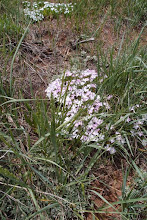 Photo: Over the top of Sand Creek Pass, we took a little Syncro track to look at flowers. Lots of phlox clumps.