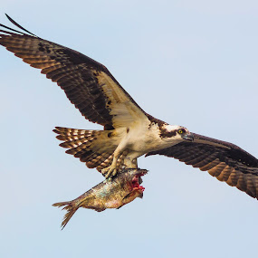 Fish for Dinner by George Bloise - Animals Birds ( eagle, fish, pwcmovinganimals, lake, osprey )