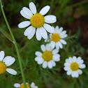 White Cota tinctoria (Ανθεμίς η βαφική)
