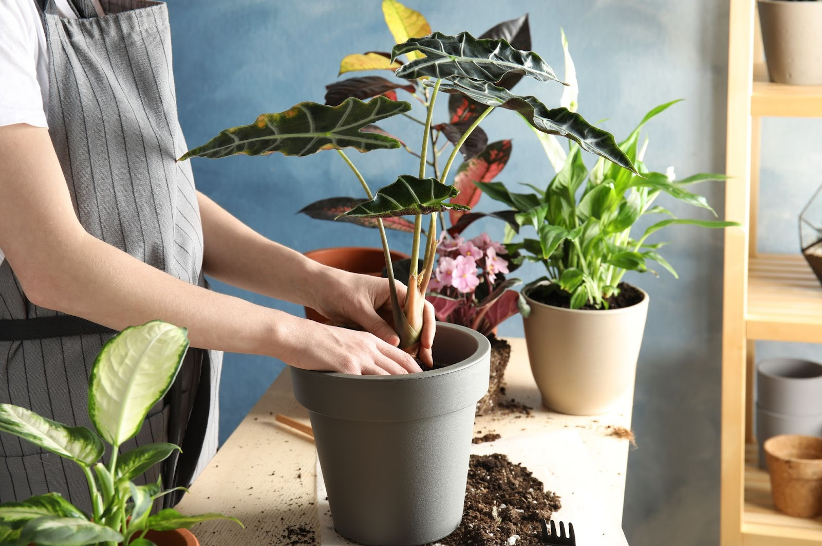 Person showing how to repot a plant by taking out old potting mix and placing new plant in pot.