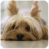 Yorkie Cute Puppy - Free Dog Wallpapers