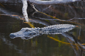 Photo: Alligator in Bailey's tract