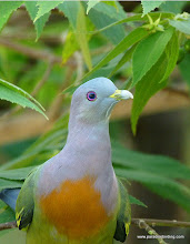 Photo: Pink-necked Green-Pigeon, male, Kota Kinabalu Bird Sanctuary