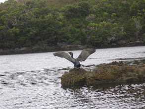 Photo: Shag on a rock
