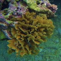 Corals of the Bay Islands, Honduras
