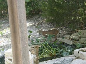 Photo: Bobcat at the pond