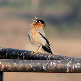 by Prakash Tantry - Animals Birds ( bird, nature, color, beautiful, small,  )