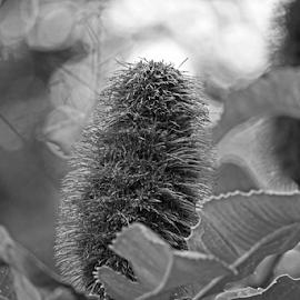 by Reinilda Sissons - Black & White Flowers & Plants (  )
