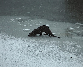 Photo: A Woods Hole Otter