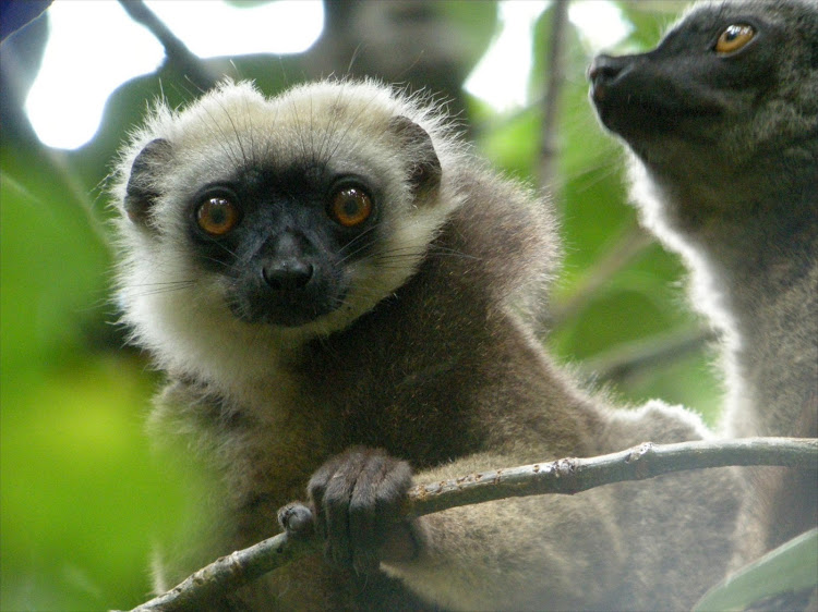 A white-headed lemur in Madagascar.